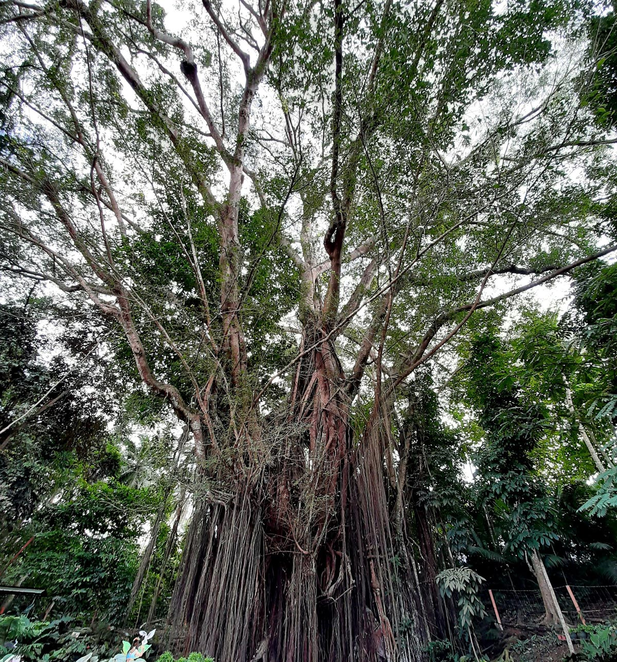 400 years old Balete Tree in Siquijor
