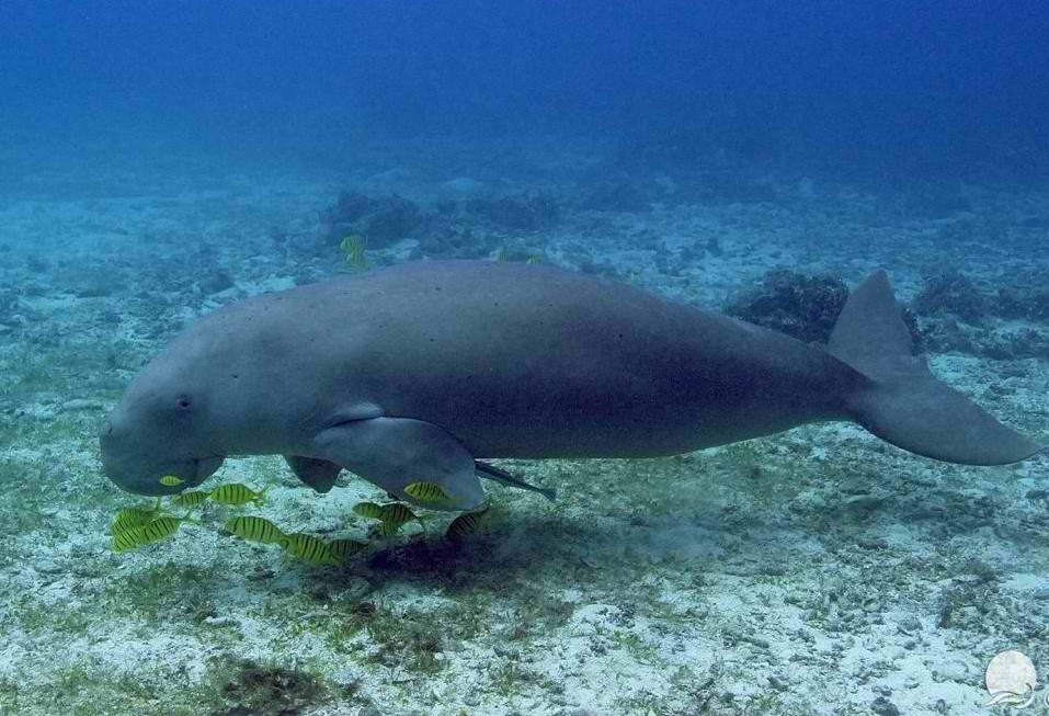 Dugong swimming along with pilot fishes