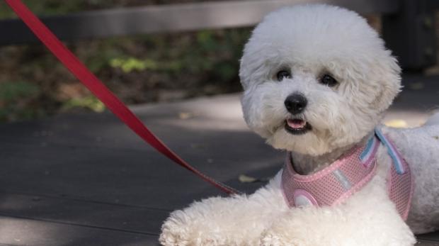 pet dogs, canine companion, walk